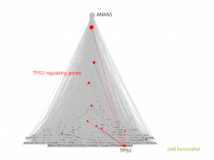 TP53 regulating genes in the apoptosis gene network.